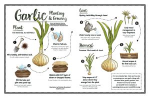 Instructions on growing your own garlic